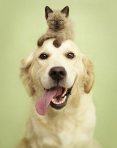 Golden retriever and cat in studio