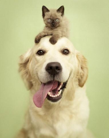 Golden retriever and cat in studio