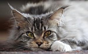 Fonte: http://purrfectcatbreeds.com/cat-breeds-list/maine-coon-cat/