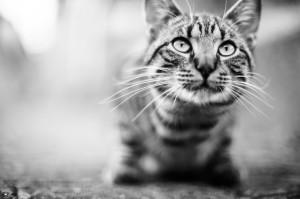 gatto_BN
